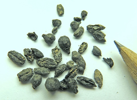 AncientGrapeSeeds-Israel-Antiquities-Authority