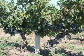 Viile vechi, pariul pe care mizam pentru vinurile Cramei Atelier. Aici doi butuci de Babeasca Neagra plantati in 1962.