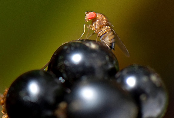 Oct. 2, 2011 - Roseburg, Oregon, U.S - A fruit fly alights on a ripe blackberry in a thicket on a farm near Roseburg.  Most fruit flies are simply considered nuisance flies as they breed on rotting material.  Some species, like the Asian spotted wing Dros